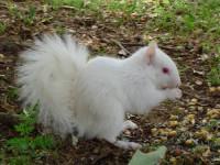 Balta voverė